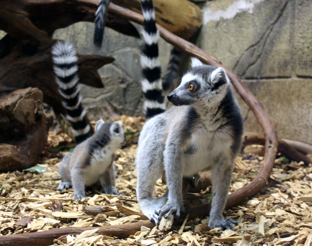 RainForest Adventures Zoo - Lemurs