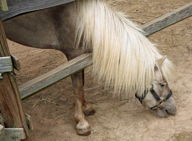 Burritt Museum - Miniature Horse