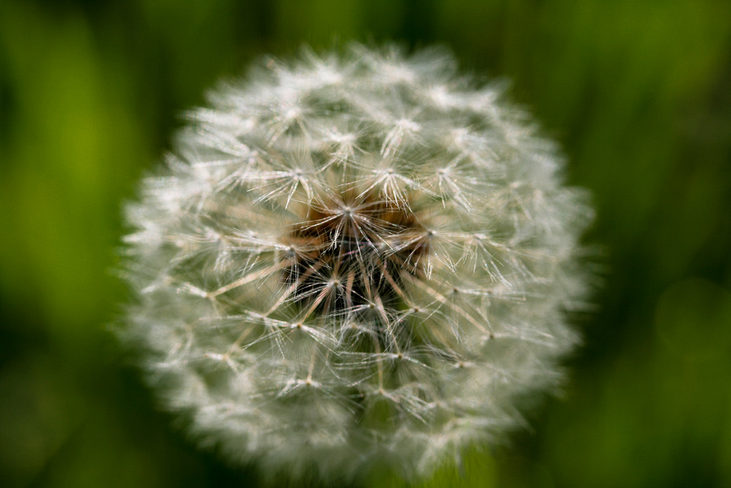 dandelion by jfl1066 on flickr