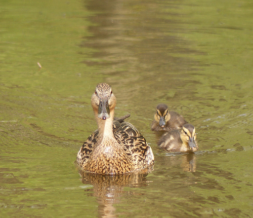 Mother and Ducklings by Lauren Tucker Photography