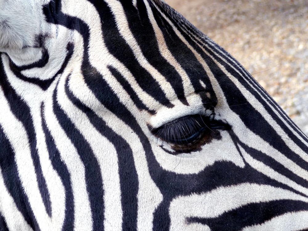10 10 08 zebra close 1000