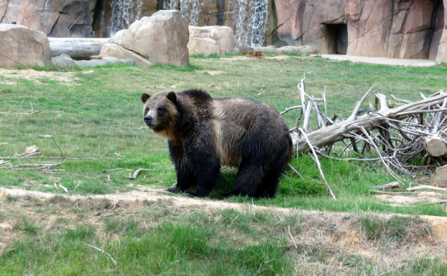 Bear at Knoxville Zoo 1000