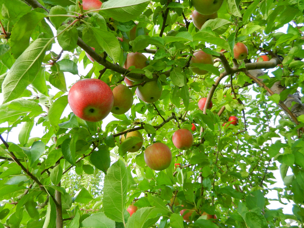 Apple Tree by lakelou on flickr