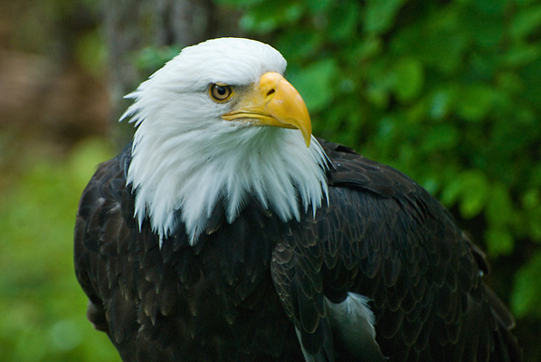 Bald Eagle by John Bruckman on flickr