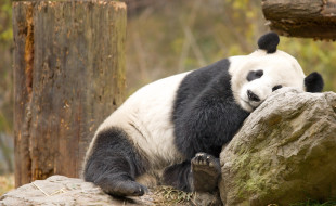 Panda by Chi King on flickr