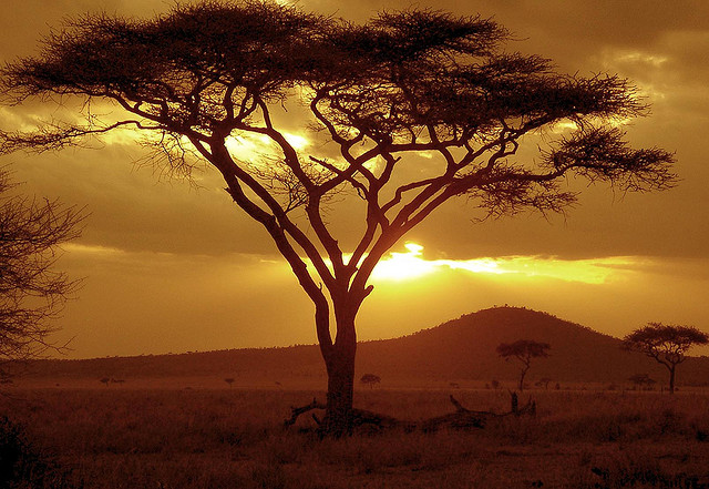 Sunset on Acacia Tree Serengeti National Park Tanzania by NeilsPhotography flickr