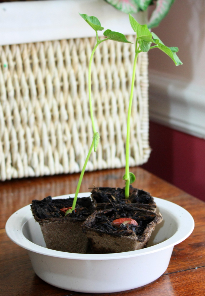 Kidney Bean Plants in Peat Pots