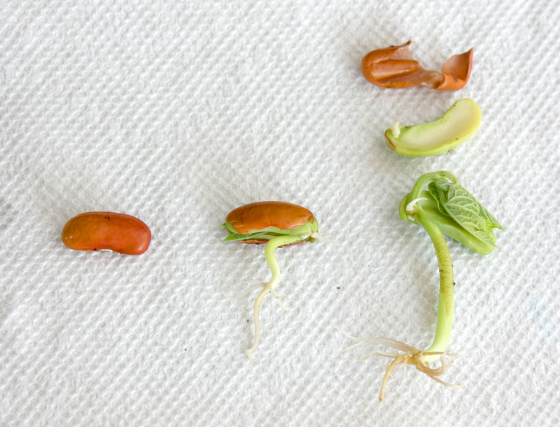 Three Beans Sprouting Experiment