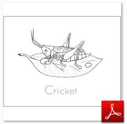 Cricket Coloring Tracing Page