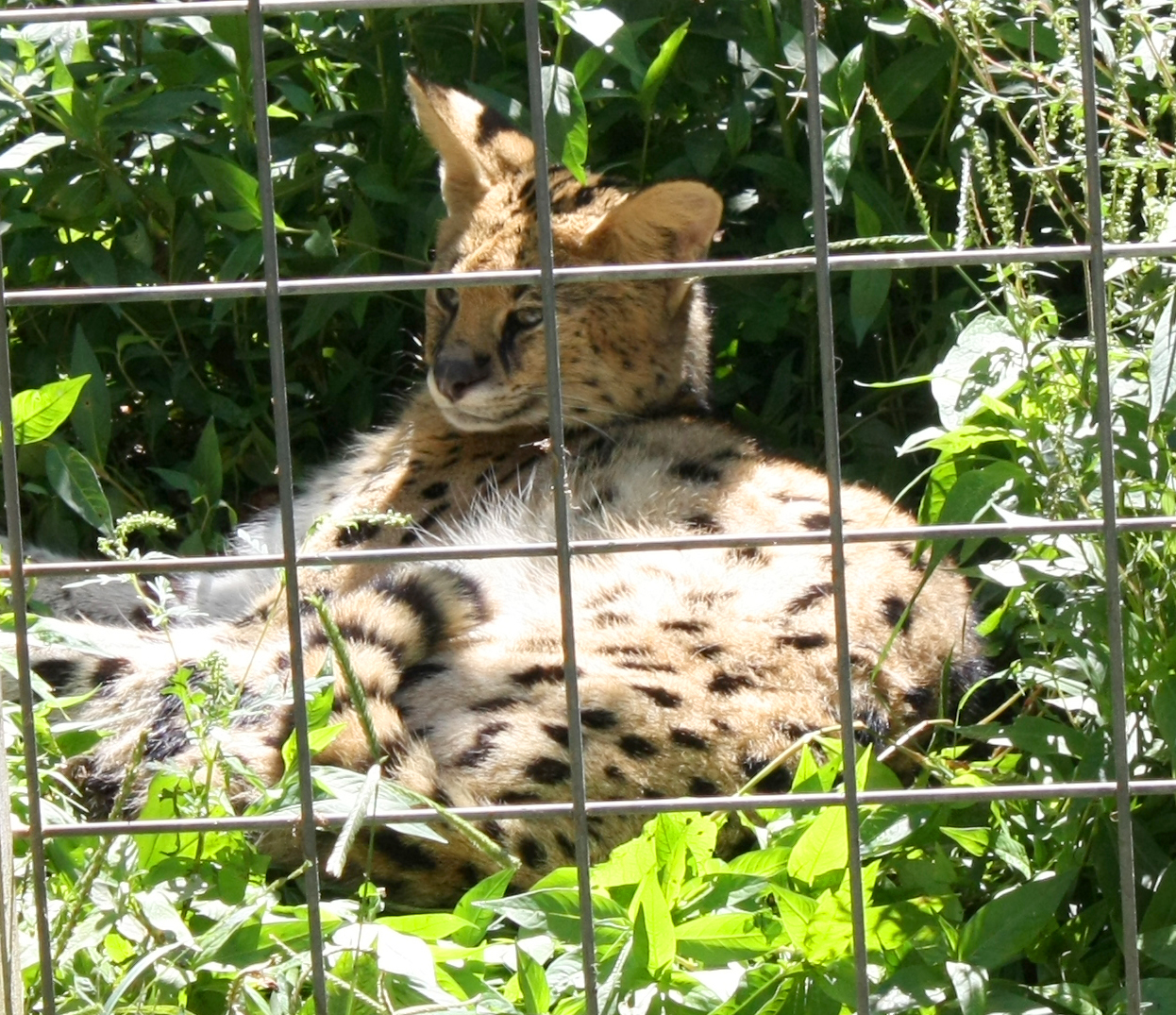 Creation Kingdom Zoo Serval