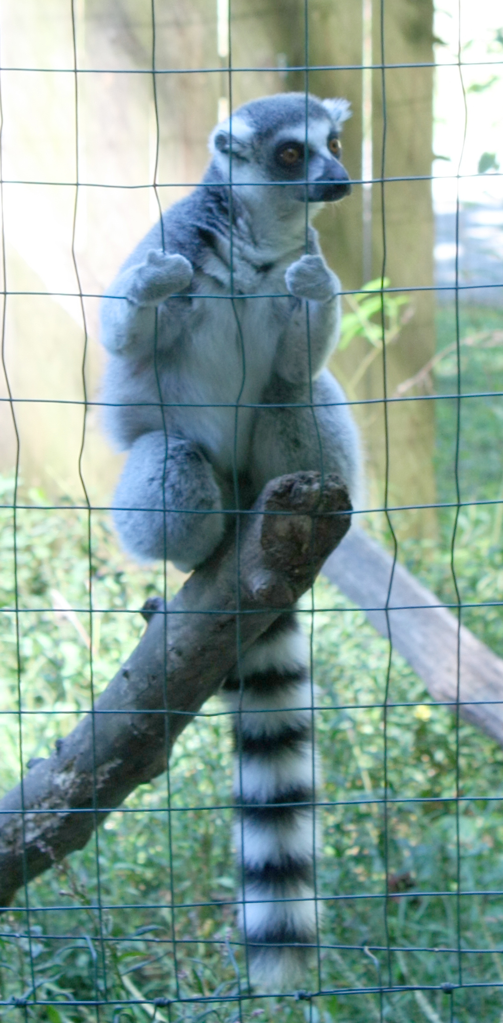 Creation Kingdom Zoo ring tailed lemur