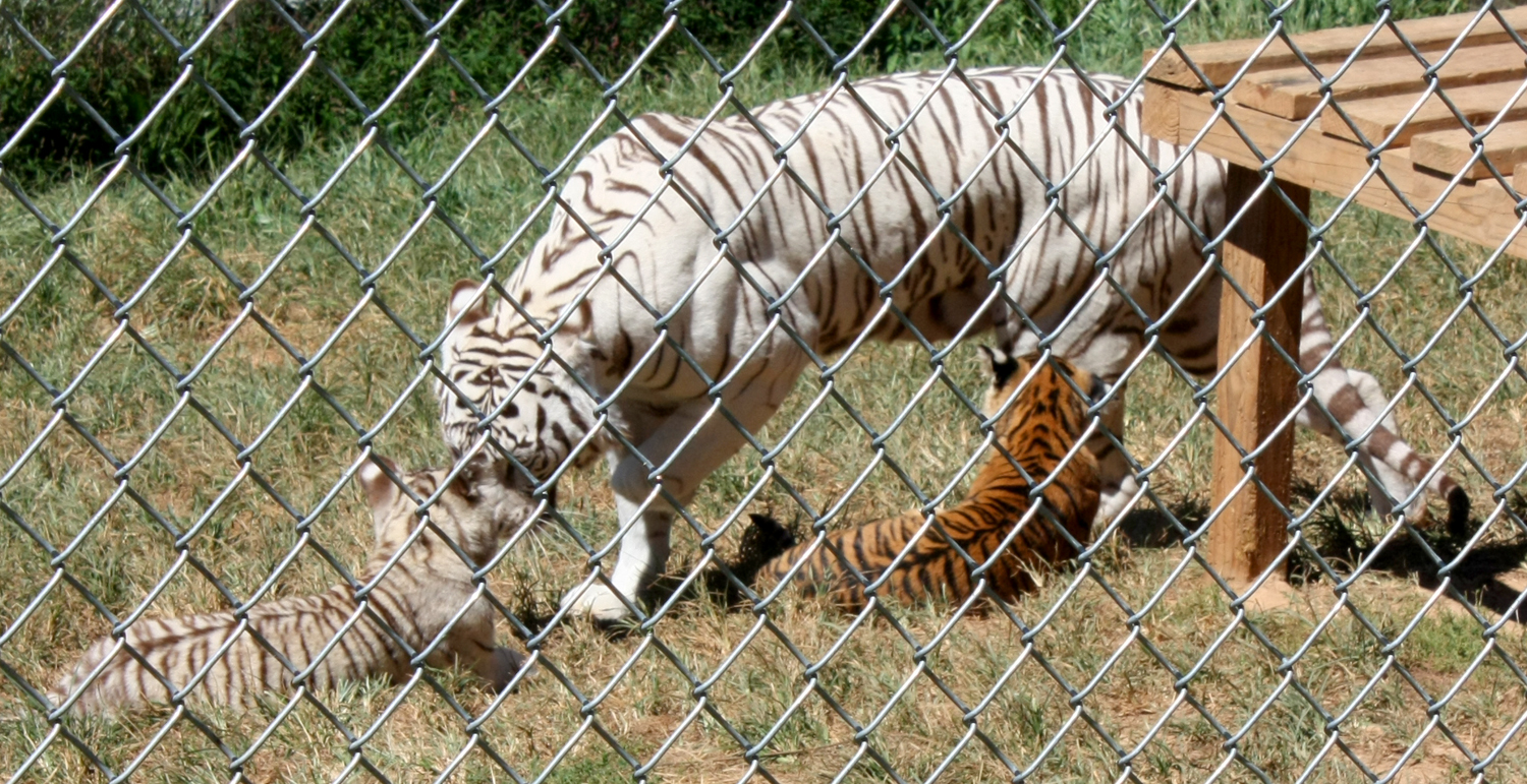 Creation Kingdom Zoo tigers 1