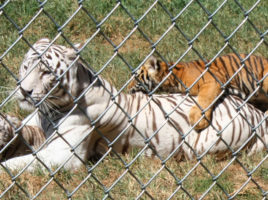 Creation Kingdom Zoo tigers 2