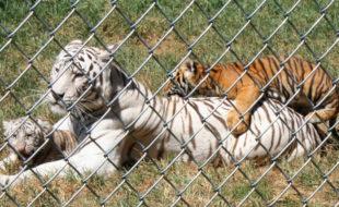 Creation Kingdom Zoo tigers 2